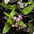 Polyxena pygmaea, Mary Sue Ittner