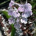 Ponerorchis graminifolia, John Lonsdale