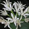 Proiphys amboinensis flowers, Monica Swartz