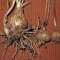 Prospero autumnale bulbs compared, Michael Neumann