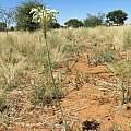 Pseudogaltonia clavata, near Dordabis, Namibia, Cody Howard