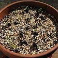Pseudogaltonia clavata, Nhu Nguyen