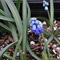 Pseudomuscari chalusicum, Mary Sue Ittner