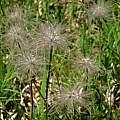 Pulsatilla vulgaris seedheads in habitat, Martin Bohnet