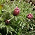 Pulsatilla vulgaris reddish form, Martin Bohnet