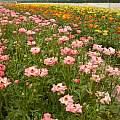 Ranunculus 'Rococo' National Cut Flower Centre at Holbeach St Johns, John Fielding