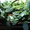 Rauhia decora seedlings, Nhu Nguyen