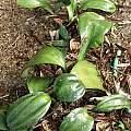 Rauhia multiflora, Jacob Uluwehi Knecht