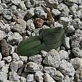 Drimia platyphylla, syn. Rhadamanthus platyphyllus leaves, Nhu Nguyen