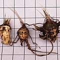 Rhodohypoxis baurii corms, David Pilling