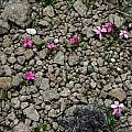 Rhodohypoxis growing in gravely rock, Naude's Nek, Mary Sue Ittner