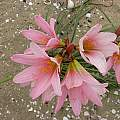 Rhodophiala ananuca flowers, Eugene Zielinski
