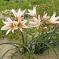 Rhodophiala ananuca plants, Eugene Zielinski
