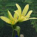 Phodophiala elwesii, Den Wilson