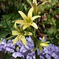 Rhodophiala montana, Jane McGary