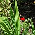 Tigridia orthantha, Mendocino Coast Botanical Gardens, Mary Sue Ittner