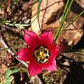 Romulea amoena, Mary Sue Ittner [Shift+click to enlarge, Click to go to wiki entry]