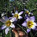Romulea bulbocodium var. bulbocodium, Nhu Nguyen