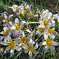 Romulea bulbocodium, Angelo Porcelli