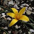 Romulea bulbocodium var. crocea, Mary Sue Ittner