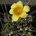 Romulea citrina, Bob Rutemoeller