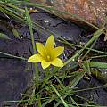 Romulea citrina, Namaqualand, Mary Sue Ittner