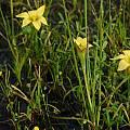 Romulea citrina, Namaqualand, Mary Sue Ittner