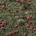 Romulea eximia, Darling, Bob Rutemoeller