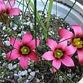Romulea eximia, Mary Sue Ittner