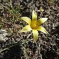Romule flava, De Hoop Nature Reserve, Cameron McMaster
