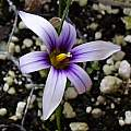 Romulea columnae ssp. grandiscapa, Michael Mace