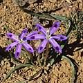 Romulea hantamensis, Rachel Saunders