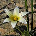 Romulea hirta, Mary Sue Ittner [Shift+click to enlarge, Click to go to wiki entry]