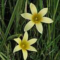 Romulea hirta, Nieuwoudtville, Bob Rutemoeller [Shift+click to enlarge, Click to go to wiki entry]