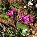 Romulea kamisensis, Namaqualand, Mary Sue Ittner