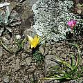 Romulea macowanii and Romulea camerooniana in habitat, Naude's Nek, Mary Sue Ittner