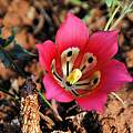 Romulea monadelpha, Bokkeveld Plateau, Mary Sue Ittner
