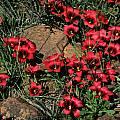 Romulea monadelpha, Middelpos, Mary Sue Ittner