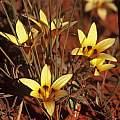 Romulea monticola, Rod Saunders