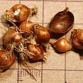 Romulea ramiflora corms, M. Gastil-Buhl