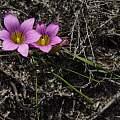 Romulea rosea, Michael Mace