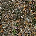 Romulea rosea, Western Australia, Mary Sue Ittner