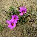 Romulea rosea, Caledon, Cameron McMaster