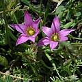 Romulea rosea, Sonoma coast, Mary Sue Ittner [Shift+click to enlarge, Click to go to wiki entry]