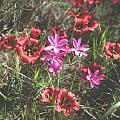 Hesperantha pauciflora, Romulea sabulosa , Mary Sue Ittner