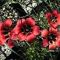 Romulea sabulosa, Nhu Nguyen