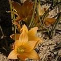Romulea setifolia, Rod Saunders