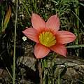 Romulea setifolia, Mary Sue Ittner