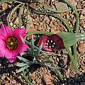 Androcymbium latifolium with Romulea subfistulosa, Middelpos, Bob Rutemoeller [Shift+click to enlarge, Click to go to wiki entry]