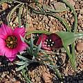 Romulea subfistulosa with Androcymbium latifolium, Bob Rutemoeller